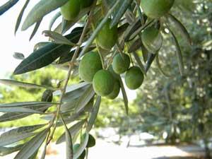 L'olive, élément indispensable de la cuisine grecque
